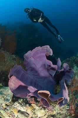 Black And White Flower Photography - Purple Elephant Ear Sponge With Diver by Steve Jones