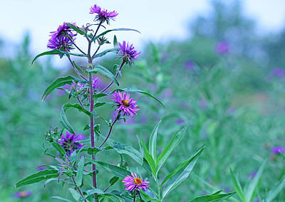 Becky Photograph - Purple Wildflowers by Becky Lodes