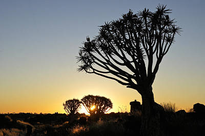 Photograph - Quivertree Sunrise by Michele Burgess