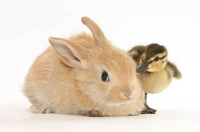 Photograph - Rabbit And Duckling by Mark Taylor