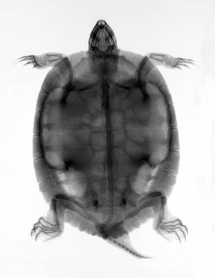 Photograph - Red-eared Slider Turtle X-ray by Ted Kinsman