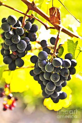 Vineyard Photograph - Red Grapes by Elena Elisseeva