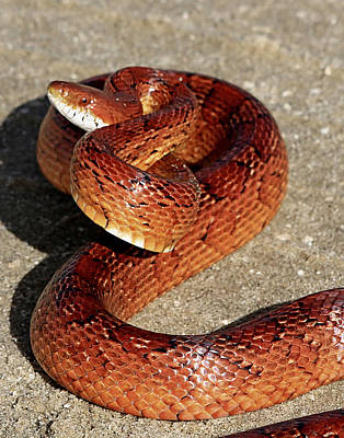 Photograph - Red Rat Snake by Ira Runyan