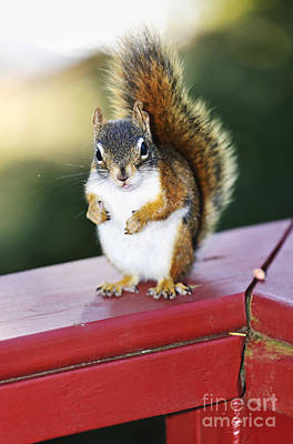 Animals Royalty-Free and Rights-Managed Images - Red squirrel on railing by Elena Elisseeva