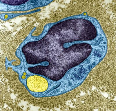 Regenerating Nerve Cell, Tem Art Print by Steve Gschmeissner