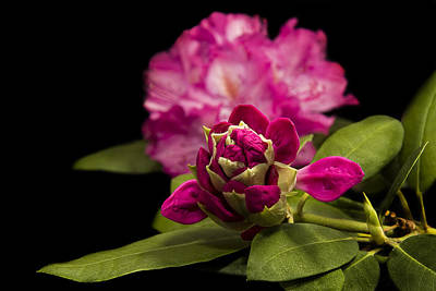 Photograph - Rhododendron Beauty by Trudy Wilkerson