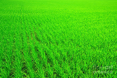 Royalty-Free and Rights-Managed Images - Rice field by MotHaiBaPhoto Prints