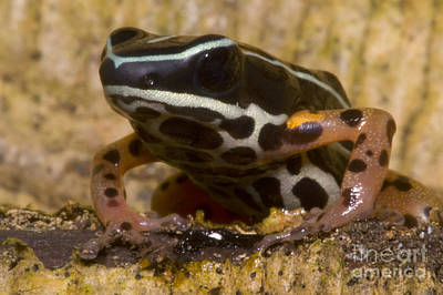 Frogs Photograph - Rio Madeira Poison Frog by Dante Fenolio