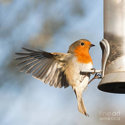 Flying Bird Photograph - Robin by Andrew  Michael