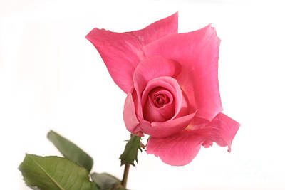 Rosaceae Photograph - Rose Blooming by Ted Kinsman