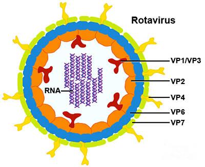 Rotavirus Art Print by Science Source