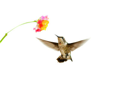 Focus On Background Photograph - Ruby-throated Hummingbird by Jim McKinley