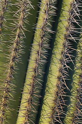Saguaro Carnegiea Gigantea Cactus Art Print