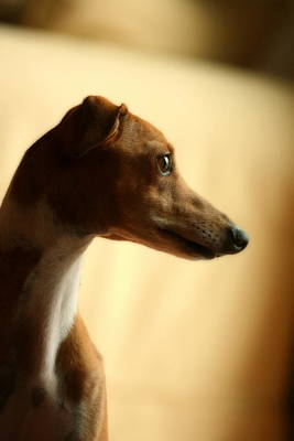 Rescued Greyhound Photograph - Sami by Angela Rath