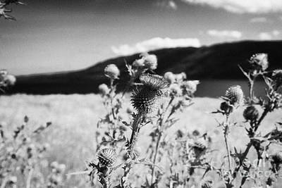 scottish thistles growing wild near Loch Ness highland scotland uk Art Print by Joe Fox