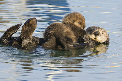 Sea Otter Mother And Pup Elkhorn Slough Art Print