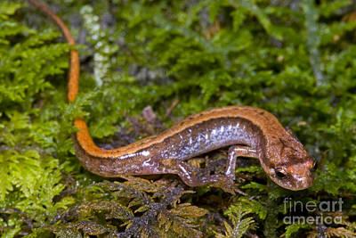 Plethodontidae Photograph - Seepage Salamander by Dante Fenolio