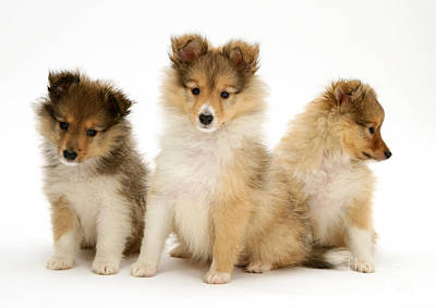 Sable Sheltie Photograph - Sheltie Puppies by Jane Burton