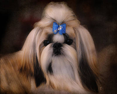 Shih Tzu Art Print by Jai Johnson