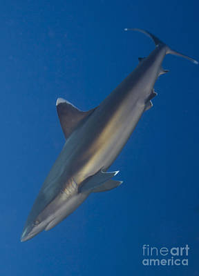Photograph - Silvertip Shark, Kimbe Bay, Papua New by Steve Jones