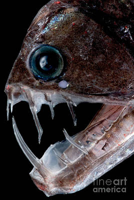 Photograph - Sloanes Viperfish by Dant� Fenolio