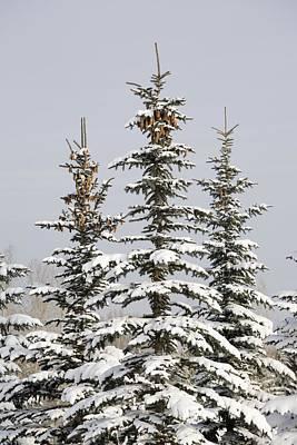 Snow Covered Evergreen Trees Calgary Art Print by Michael Interisano