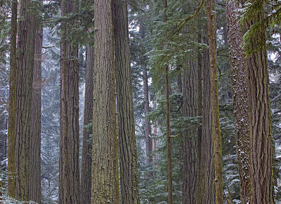 Snow Covered Trees In Cathedral Grove Art Print by Robert Postma