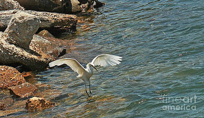 Photograph - Snowy Egret  by Terri Mills