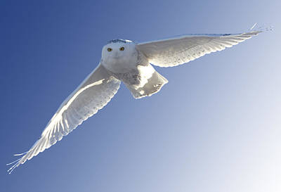 Fleetwood Mac - Snowy Owl in Flight by Mark Duffy