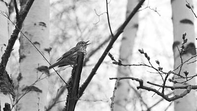 Jouko Lehto Royalty-Free and Rights-Managed Images - Song Thrush by Jouko Lehto