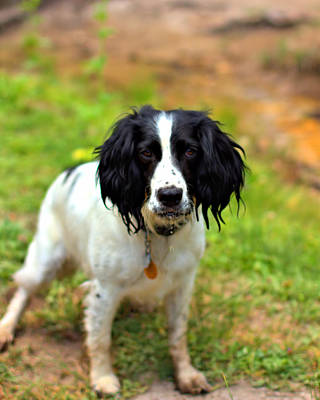 Photograph - Spaniel by Marlo Horne