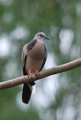 Western Art - Spotted Dove by Perry Van Munster