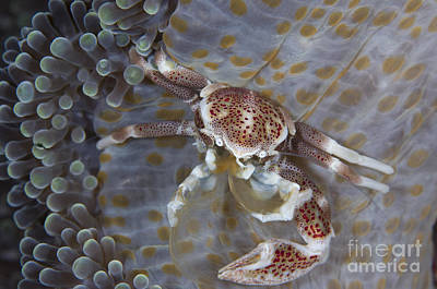 Porcelain Crabs Photograph - Spotted Porcelain Crab Feeding by Steve Jones
