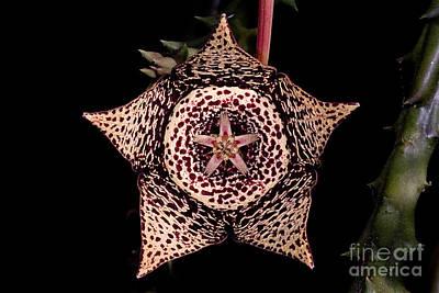 Stapelia Flower Art Print by Dant� Fenolio