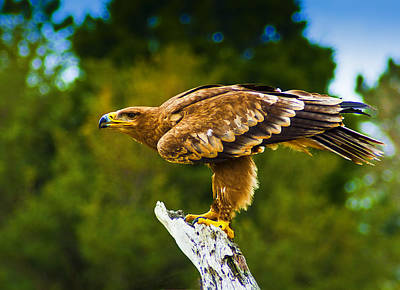 Photograph - Steppe Eagle by Bill Barber