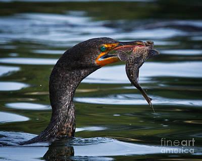 Phalacrocorax Auritus Photograph - Success by Carl Jackson