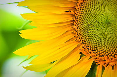 Photograph - Sunflower Close Up by Brandon Bourdages