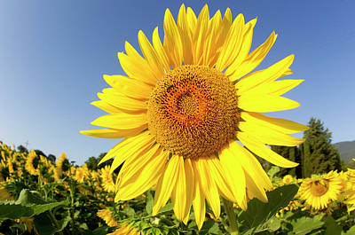 Close Focus Nature Scene Photograph - Sunflower Fields In Tuscany,italy. by Chris Cole