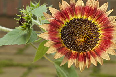 Photograph - Sunflower by Jack R Perry