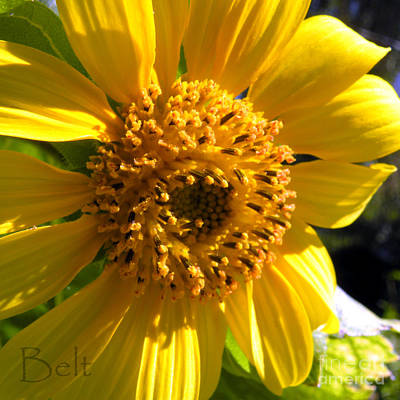 Snickerhaus Gallery Photograph - Sunflower No.17 by Christine Belt
