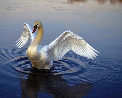 Pinion Photograph - Surreal Swan by Brian Stevens