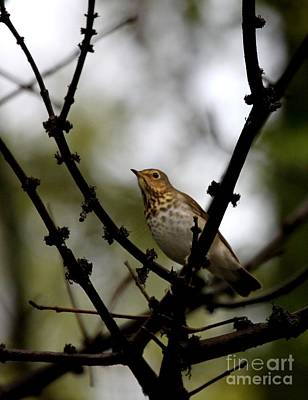 Photograph - Swainson's Thrush by Jack R Brock