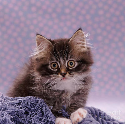 Animal Portraiture Photograph - Tabby Kitten by Jane Burton