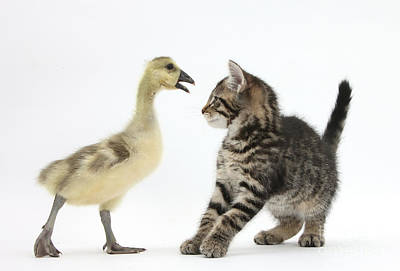 Photograph - Tabby Kitten With Yellow Gosling by Mark Taylor