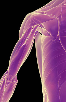 Human Joint Digital Art - The Muscles Of The Shoulder by MedicalRF.com