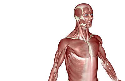 Serratus Anterior Digital Art - The Muscles Of The Upper Body by MedicalRF.com