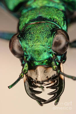 Photograph - Tiger Beetle by Ted Kinsman