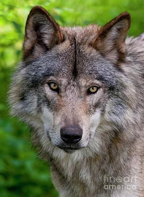 Timber Wolf Portrait Art Print by Michael Cummings