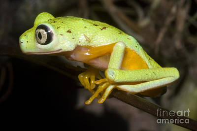 Central American Frogs Photograph - Tree Frog by Dante Fenolio