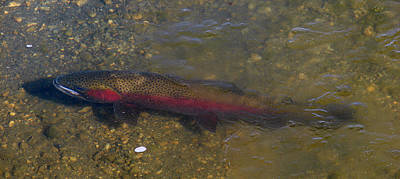 Photograph - Trout Under Ice by Phyllis Britton